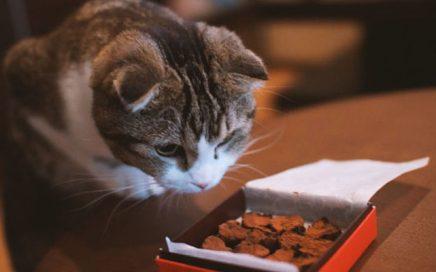 ¿Qué pasa si le das chocolate a un gato?